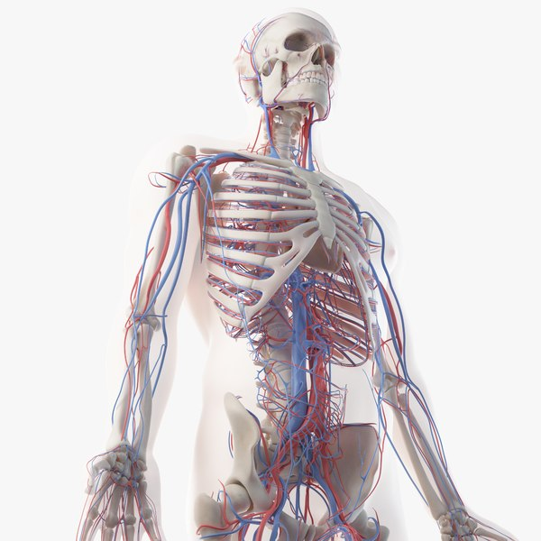 3D model male skin skeleton vascular