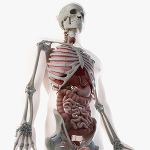 3D male skin skeleton organs model