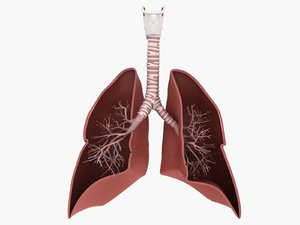 lungs medical 3D model