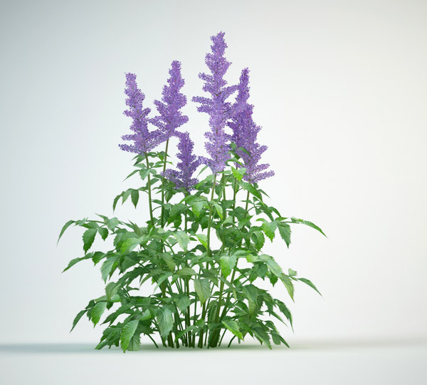 astilbe flowering bushe 3D model