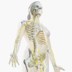 3D female skin skeleton nerves