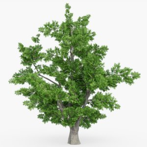3D tree white oak model