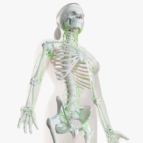 female skin skeleton lymphatic 3D model