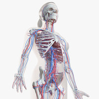 3D model female skin skeleton vascular
