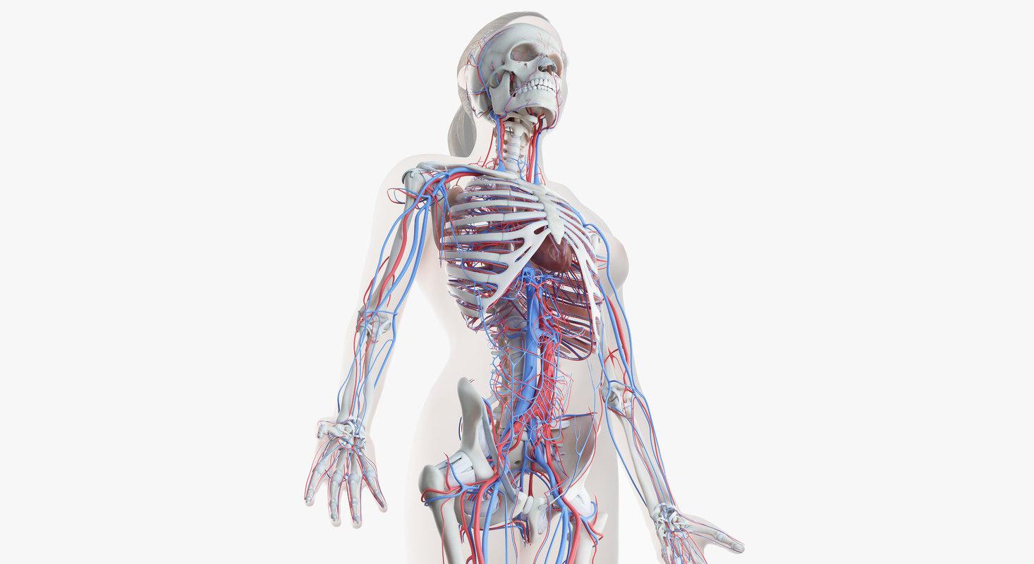 3D model female skin skeleton vascular