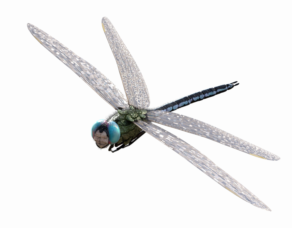 anax imperator 3D model