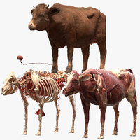 cow anatomy 3D