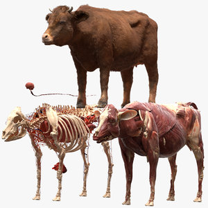 cow anatomy 3D
