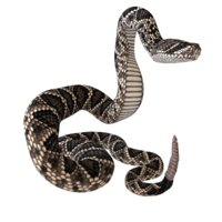 3D eastern diamondback rattlesnake animation model