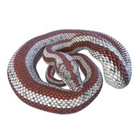 rosy boa reptile animation model