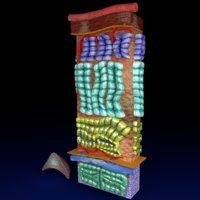 3D adrenal gland gross microscopic
