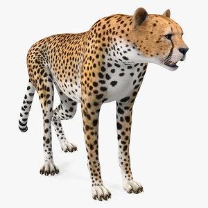 3D african large cat cheetah
