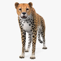 African Large Cat Cheetah Standing Pose with Fur