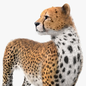 cheetah looking fur 3D model