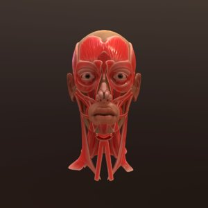 3D anatomy face head