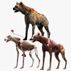 hyena anatomy 3D model
