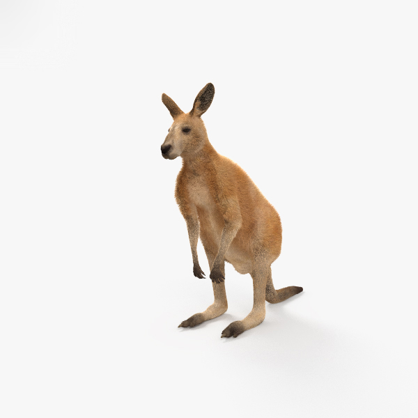 kangaroo mammal animal 3D model