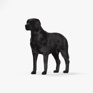 3D labrador retriever model