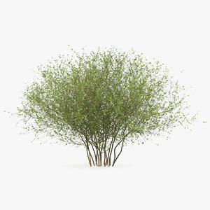3D kolkwitzia amabilis bush