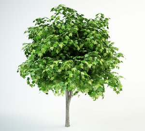 3D red maple tree model