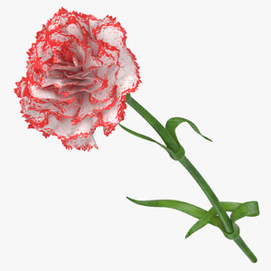 3D carnation white red model