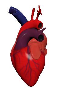 3D model human heart