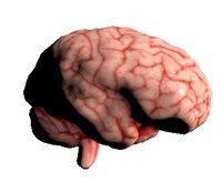 anatomy organ nervous model
