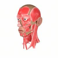 Head Face Muscle Structure Anatomy