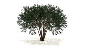 lagerstroemiah tree 3D model