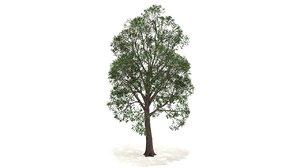 maple tree 3D