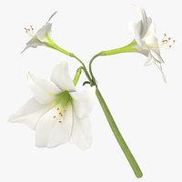 amaryllis white - 3D