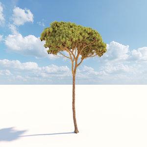 3D corona pinus pinea 2 model