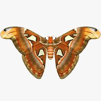 3D realistic attacus atlas
