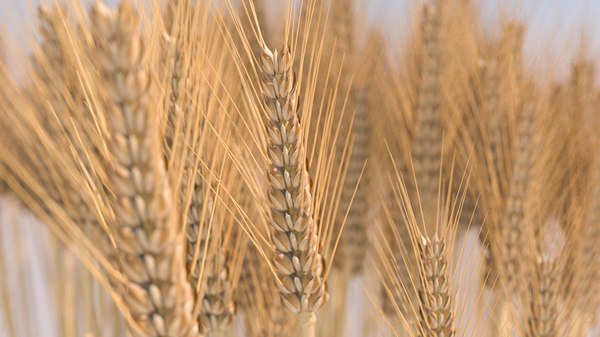 wheat grain 3D model