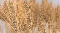 wheat grain 3D model