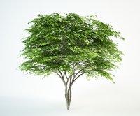 japanese maple 4 tree 3D