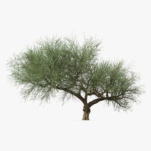 3D olea europaea olive tree