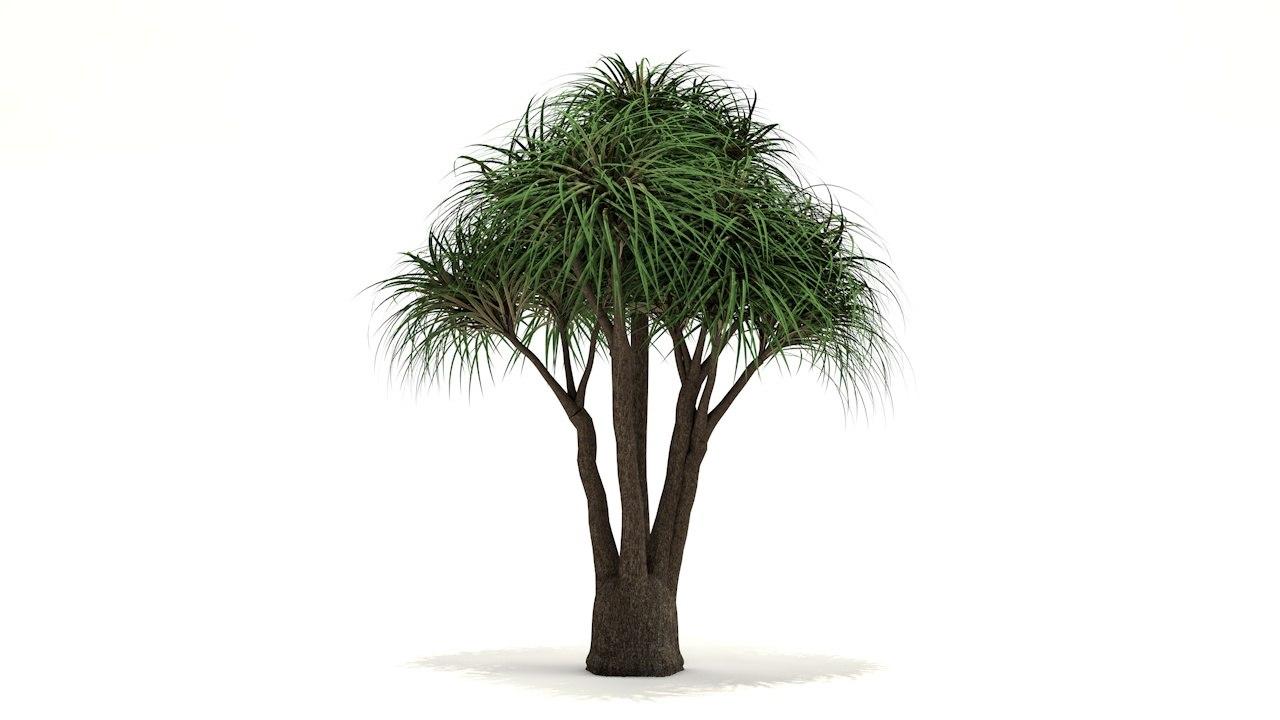 e9fae824374 Ponytail palm tree model - TurboSquid 1397742
