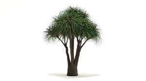 ponytail palm tree model