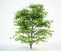 3D japanese maple 3 tree