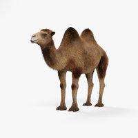 camel mammal animal model