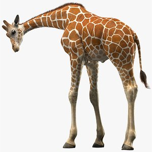 3D realistic giraffe rigged model