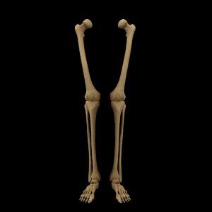 anatomy legs foot bones 3D model