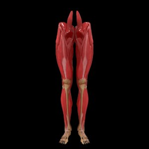 human legs muscle bone anatomy 3D model