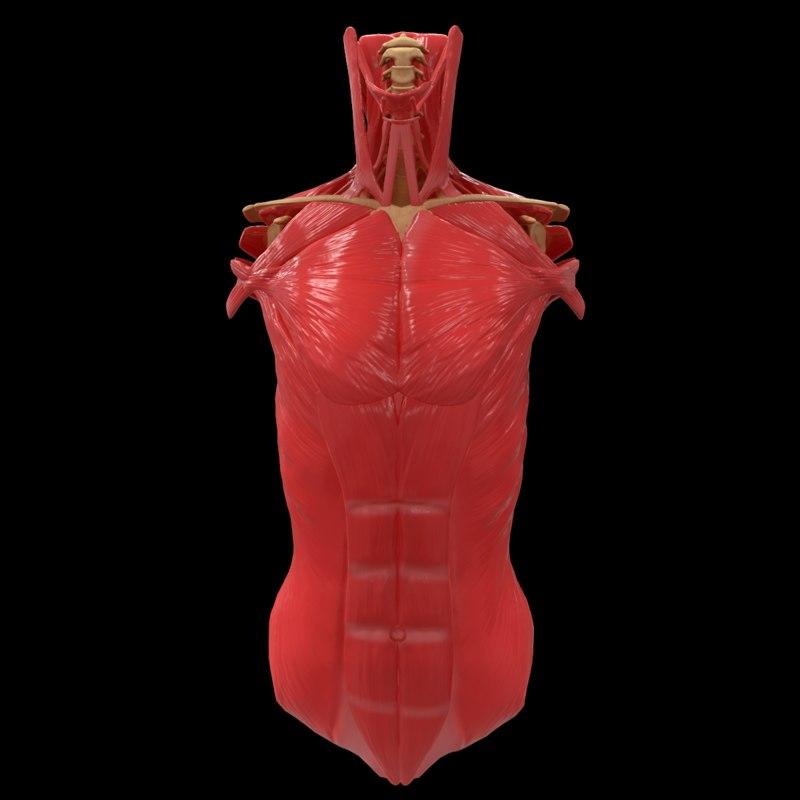 Torso Muscle Bone Anatomy Spine