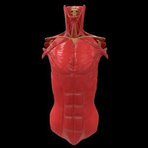 torso muscle bone anatomy 3D model