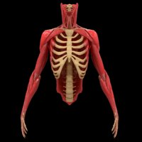 torso arm spine bone 3D