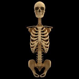 3D torso skeleton spine anatomy