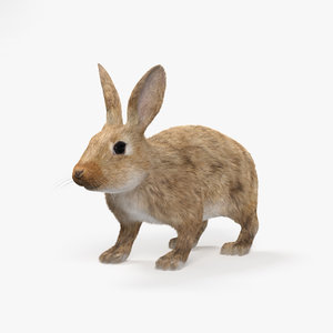 3D rabbit common model