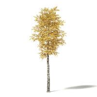 silver birch 7m 3D model